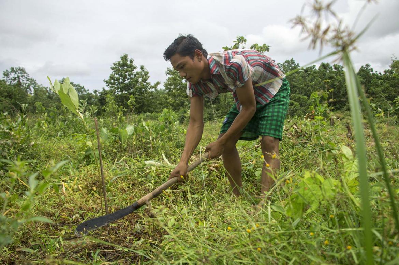 acacia-becomes-myanmars-plantation-tree-of-choice-1582173557