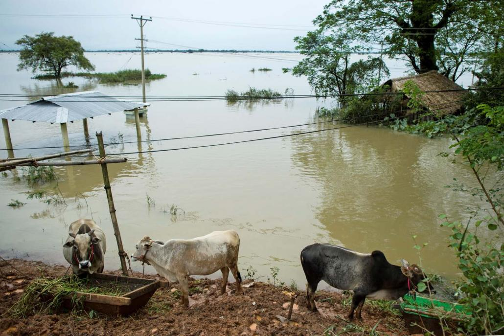 Cows seek refuge from floodwaters in Shwegyin Township. (AFP)