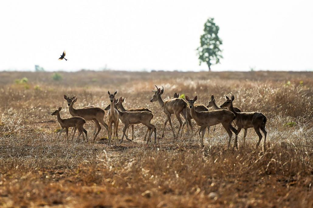 Eld's deer seen on May 6 roam through the sanctuary, which has lost much of its forest cover, partly due to failed cotton plantations and the dependence of nearby villages on firewood for fuel. (AFP)