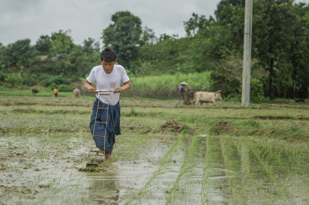 Ko Maung Nge demonstrates the use of a rotary hand weeder on his farmland in Minbya Township. (Kaung Htet | Tat Lan)