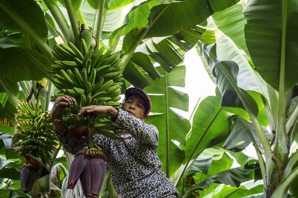 A labourer inspects ripening bananas at a plantation in Maisakpa village, Waingmaw Township. (Hkun Li | Frontier)