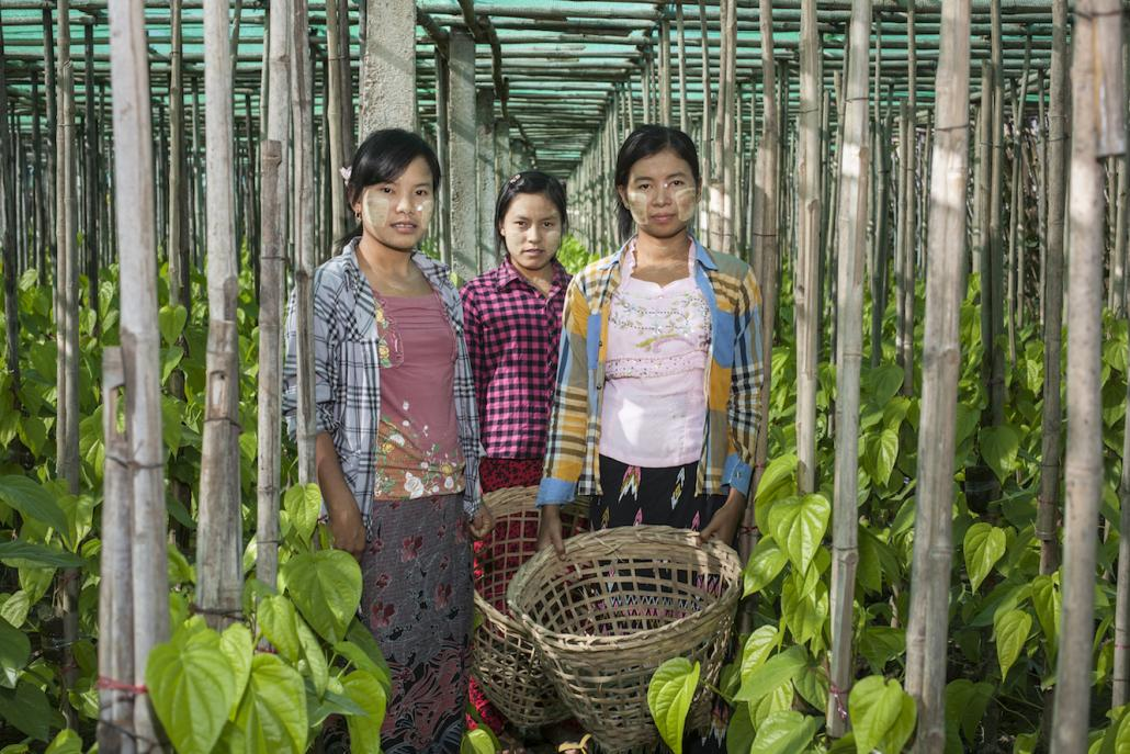Female workers at a betel plantation near Nyaung-U, Mandalay Region in November 2015. (Chiara Luxardo / Frontier)