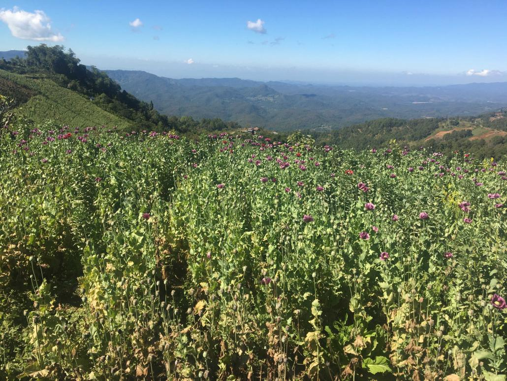 An opium poppy field in Shan State. (Supplied)