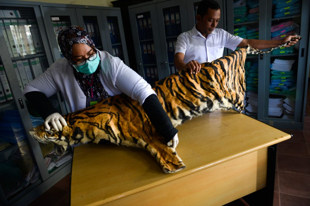Wildlife conservation officials check the confiscated skin of a Sumatran tiger seized from a poacher in Banda Aceh, Indonesia. (AFP)