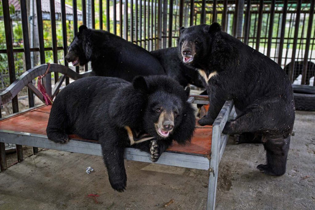 Ko Aung's Asiatic black bears lounge in their cage in Taungoo the day before they were transferred to a private zoo. (Hkun Lat | Frontier)