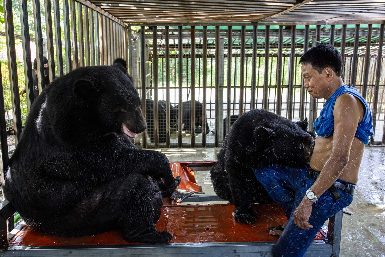 Ko Aung with his Asiatic black bears in Taungoo, Bago Region, on June 30. (Hkun Lat | Frontier)