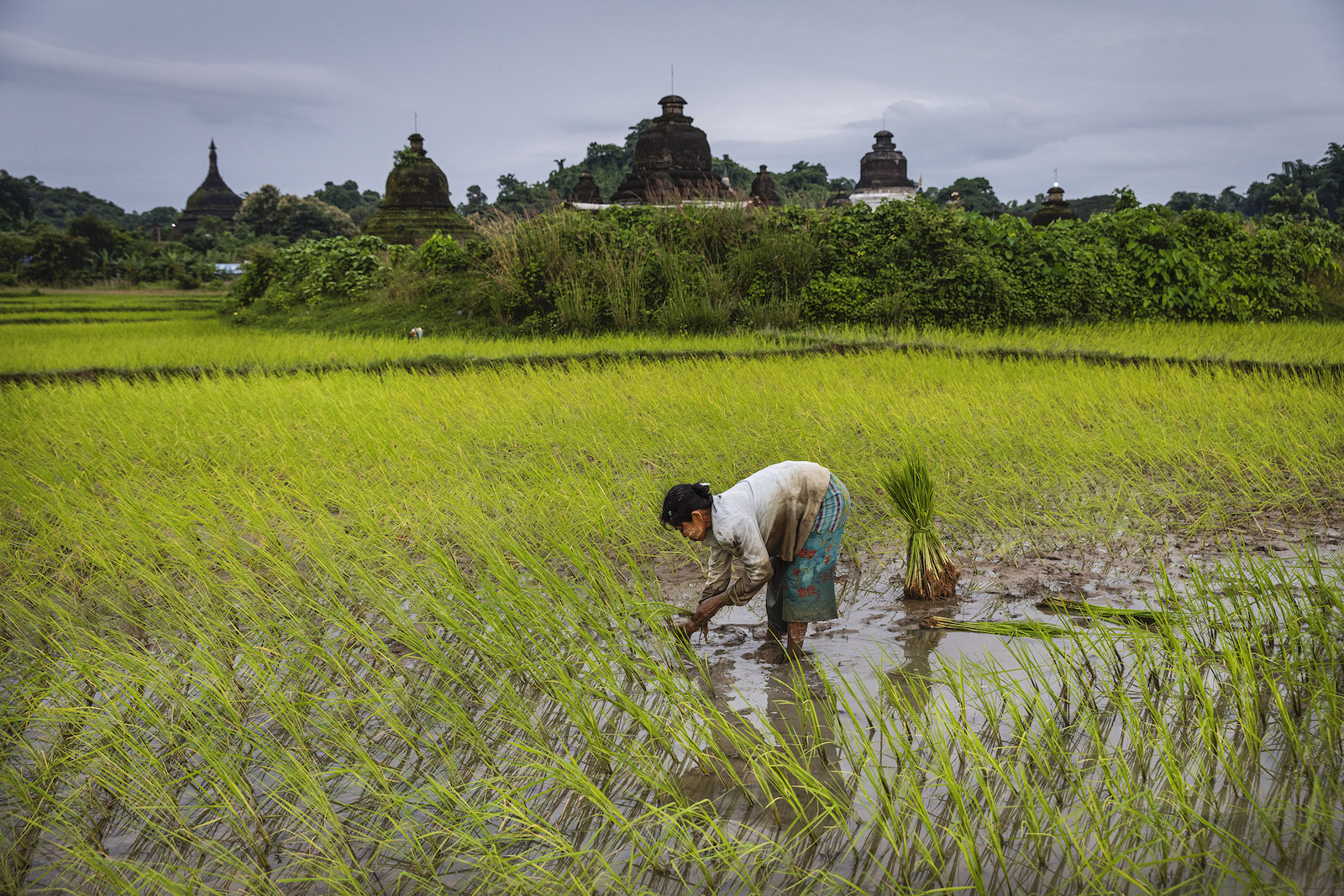 A woman plants rice near a historic brick pagoda in Mrauk-U Township, Rakhine State on August 21. (Hkun Lat | Frontier)