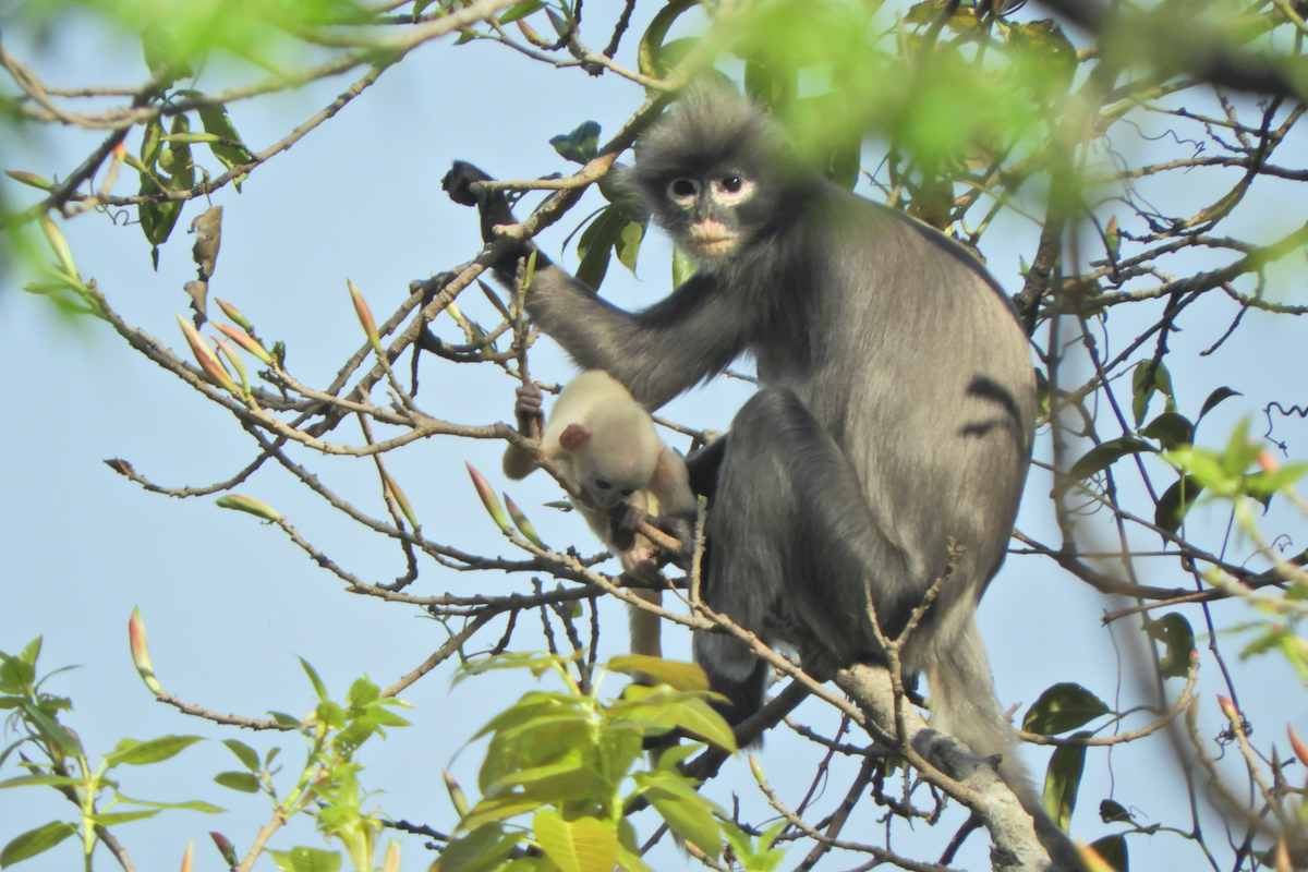 A newly discovered primate, named Popa langur (Trachypithecus popa) after its home around central Myamar's Mt. Popa, is seen hanging on a tree branch. (AFP/German Primate Center)