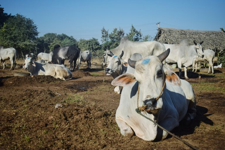 The central dry zone region encompassing Mandalay, Magway and Sagaing regions is the country's major cattle breeding zone. (Kyaw Lin Htoon | Frontier)