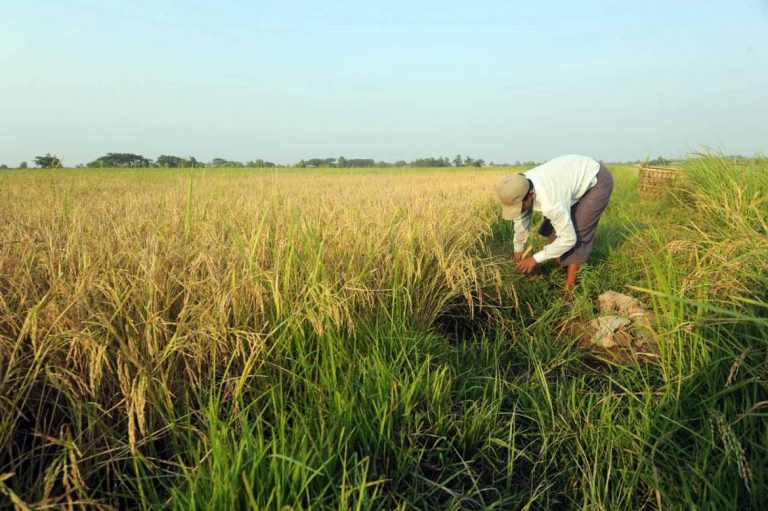 farmers-suffer-as-rice-price-slumps-1582189241