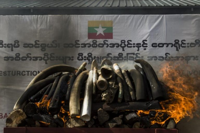 myanmar-torches-1-3-million-of-illegal-wildlife-parts-1582206044