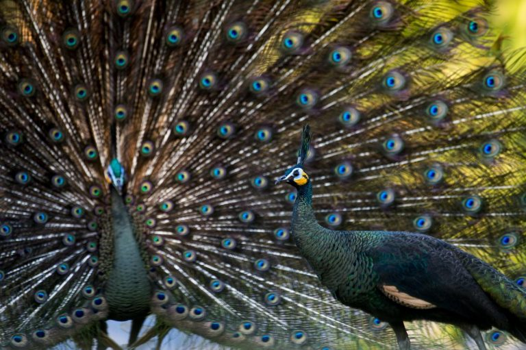 myanmars-peacock-a-national-symbol-dying-off-in-the-wild-1582191620