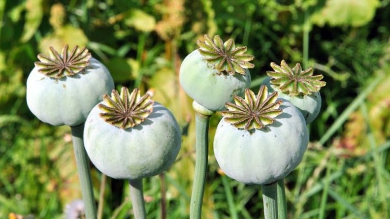 opium-poppy-dangerous-and-infinitely-healing.jpg