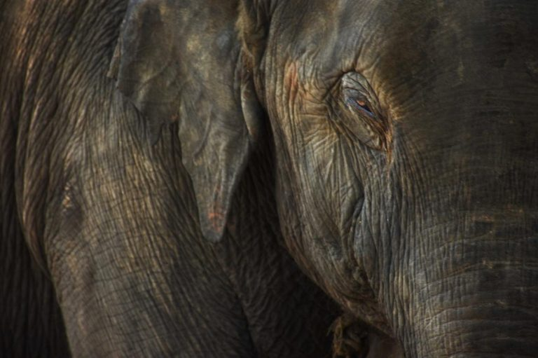 protecting-myanmars-elephants-from-extinction-1582182687