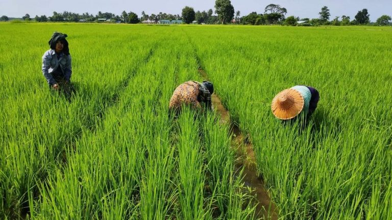 Many farmers and experts are anticipating a lower yield from this year's monsoon paddy crop because farmers have used less inputs, particularly fertiliser. (Frontier)