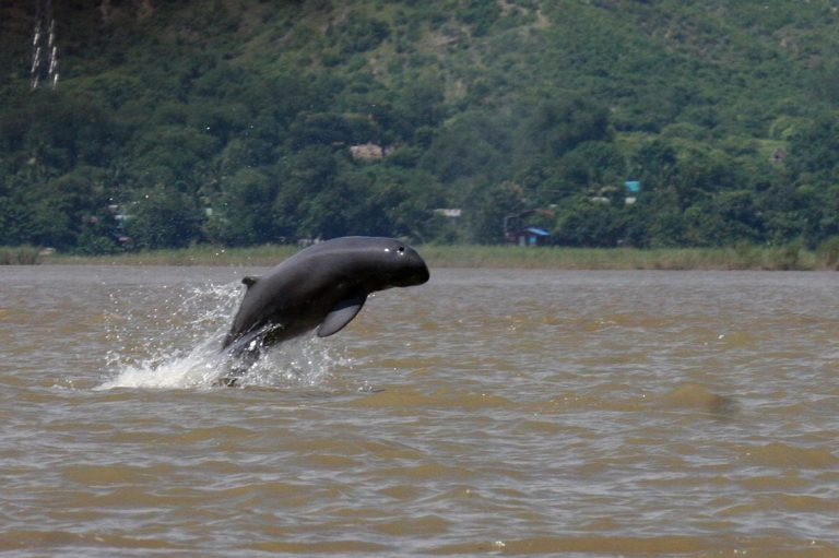 smiling-irrawaddy-dolphins-on-brink-of-extinction-1582188714