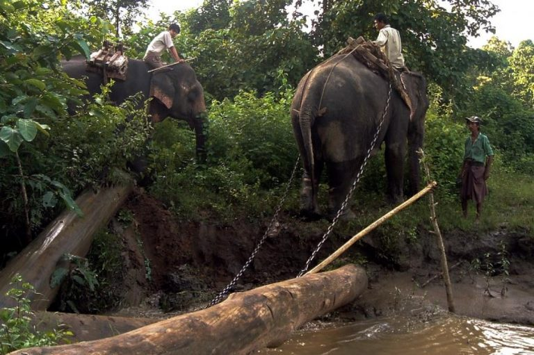wild-captured-worker-elephants-die-young-in-myanmar-1582207430